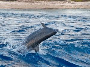 dauphin 36
